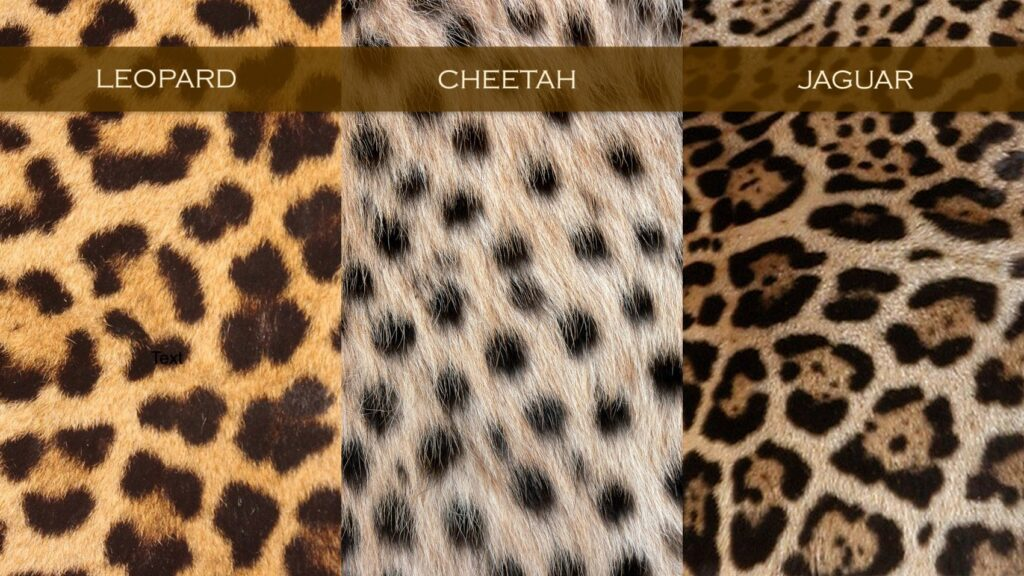 Three rectangular swatches of animal print labelled 'leopard', 'cheetah', and 'jaguar'.